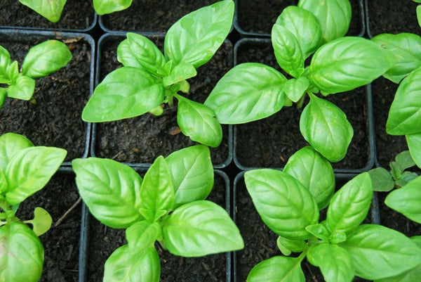 Basil: How To Cultivate It?