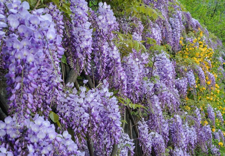 Glycine: Plant, Crop, Size And Maintenance