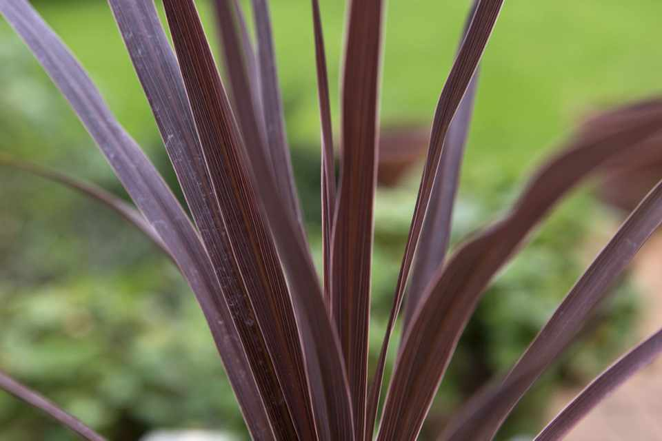 Cordyline: How To Plant, Crop, Size And Maintenance