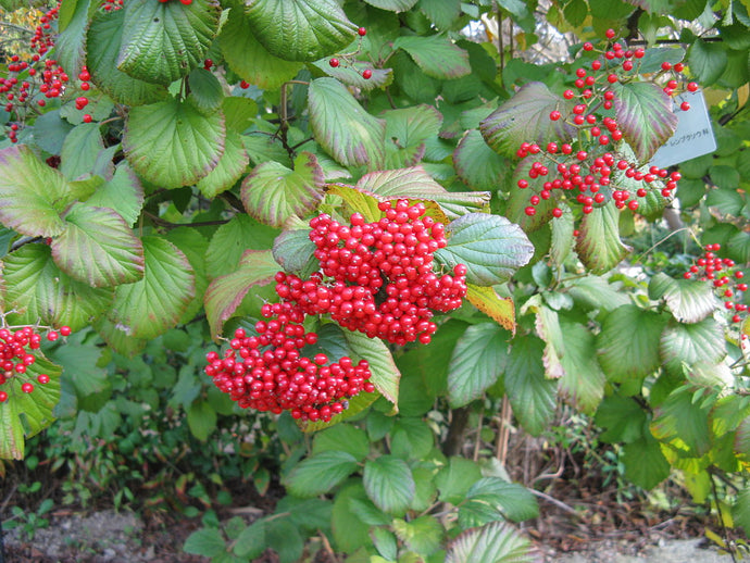 A Beautiful Plant In The Garden: Viburnum