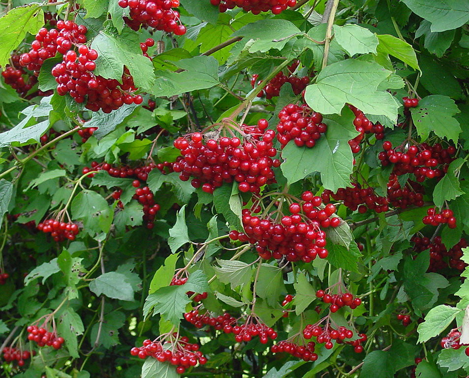 VIBURNUM: PLANT, CROP, SIZE AND MAINTENANCE