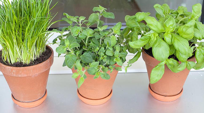 How To Grow Fragrant Greens On The Windowsill
