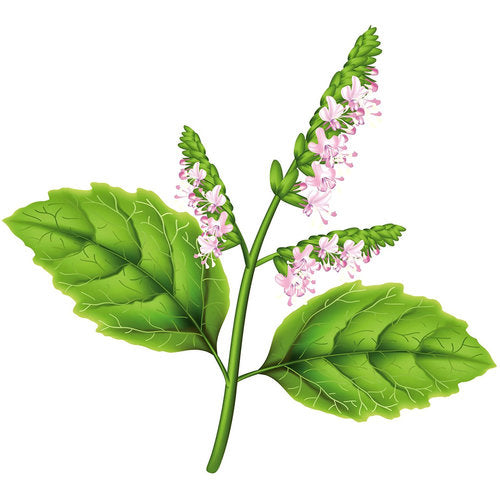 Grow Hyssop Plants