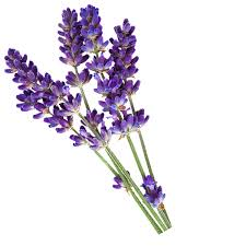 Grow Lavender Flower Plants