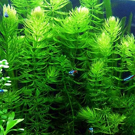 Hornwort Bundle