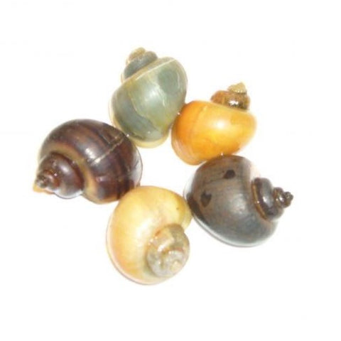 Mystery Snail 4 Pack