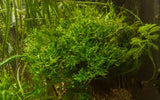 Java Fern Windelov