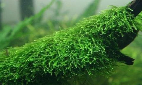Java Moss Taxiphyllum Barbieri
