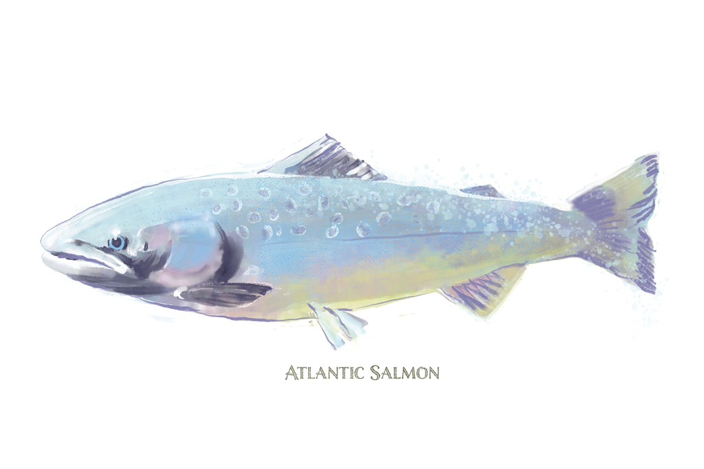 Three Salmon Watercolor - New