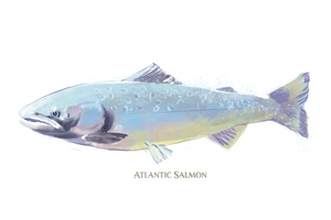 Atlantic Salmon Watercolor - New