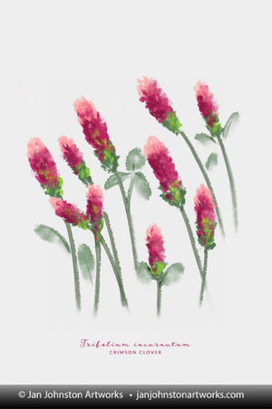 Crimson Clover Watercolor Portrait
