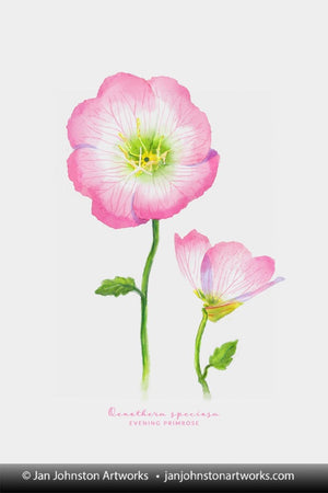 Evening Primrose Watercolor Print