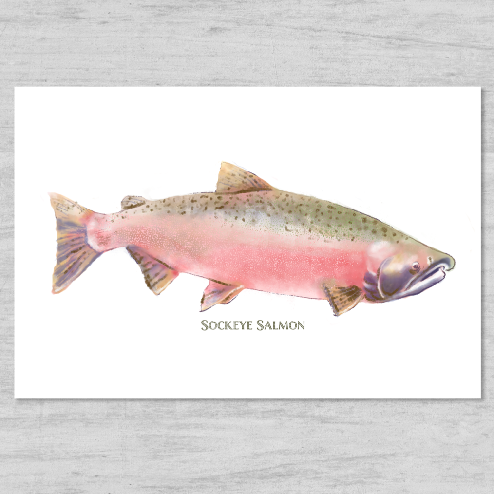 Sockeye Salmon Watercolor - New