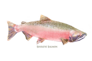 Three Salmon Watercolor