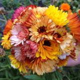VH13. Remembrance Calendula, Calendula officinalis 'Remembrance Edible Mix'