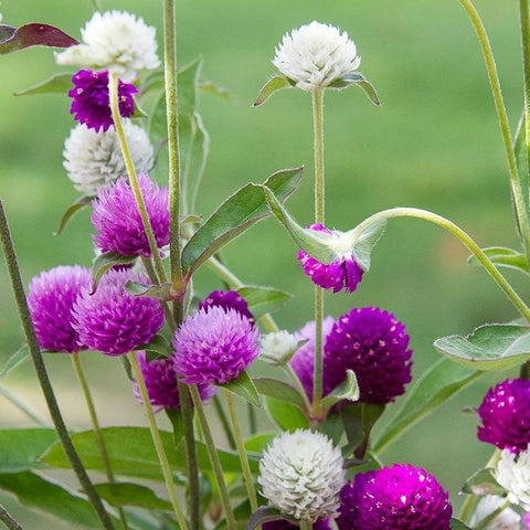 A8. Gomphrena Ping Pong Mix