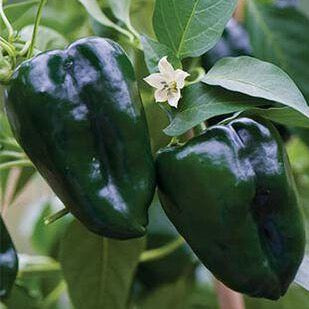 VH18. Ancho Poblano Hot Pepper, Capsicum annuum 'Ancho Poblano Hot'