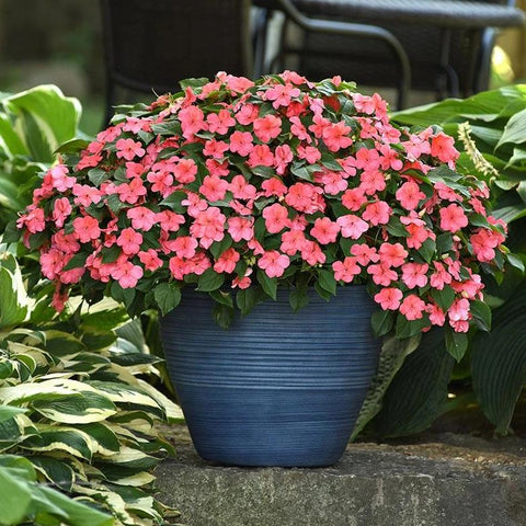 A115. Impatiens 'Beacon Coral'