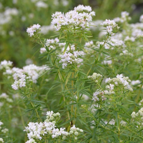VH38. Mountain Mint, Pycnanthemum pilosum