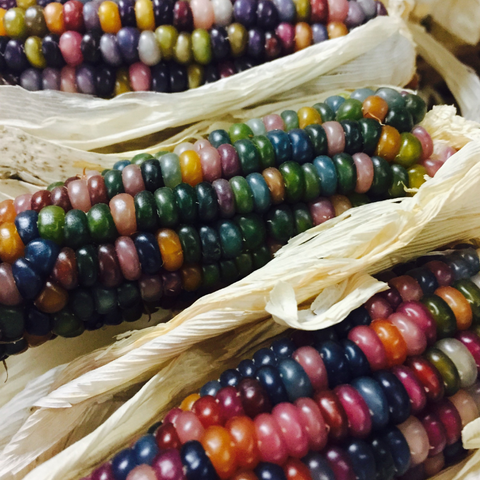 VH48. Glass Gem Corn, Zea mays 'Glass Gem'