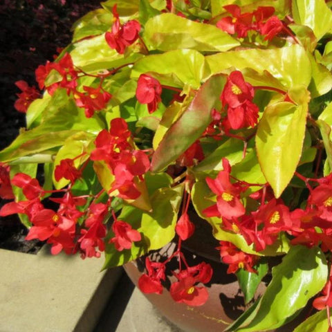 A1. Begonia 'Canary Wings'
