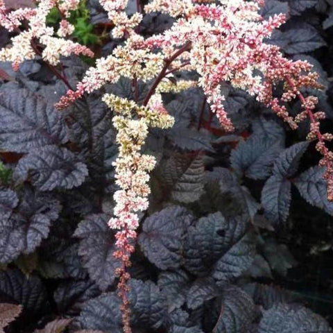 P2. Astilbe 'Chocolate Shogun'