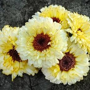 A2. Calendula 'Snow Princess'