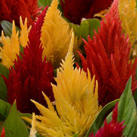 A18. First Flame Celosia - Celosia plumosa 'First Flame'