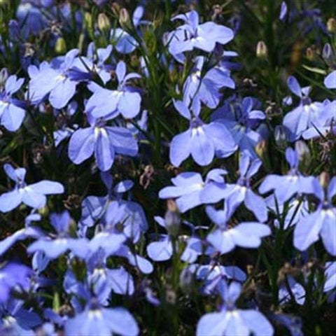 HB03: Magadi™ Electric Blue Lobelia