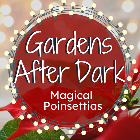 Gardens After Dark: Magical Poinsettias