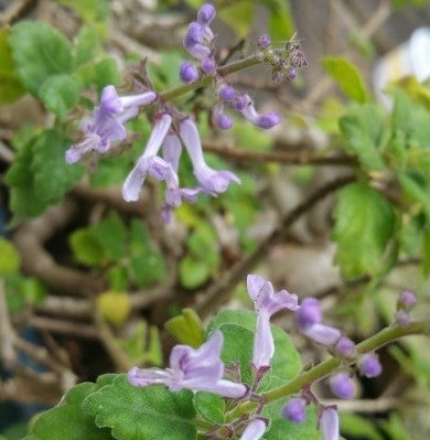 HP14. Bonsai Mint, Plectranthus ernstii