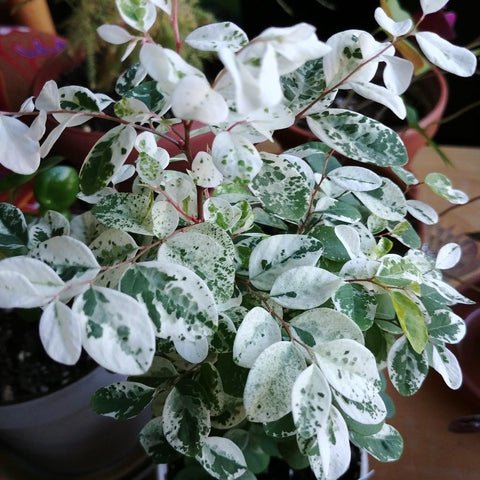 HP04. Snow Bush, Breynia disticha