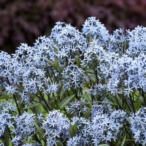P01. Storm Cloud Bluestar, Amsonia tabernaemontana 'Storm Cloud'