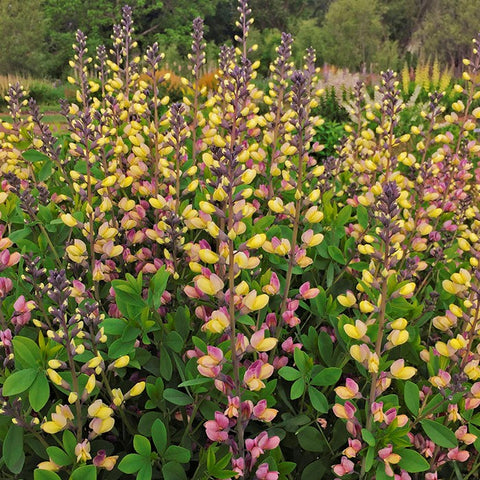 P03. Pink Lemonade False Indigo, Baptisia 'Pink Lemonade' Decadence® Deluxe Series