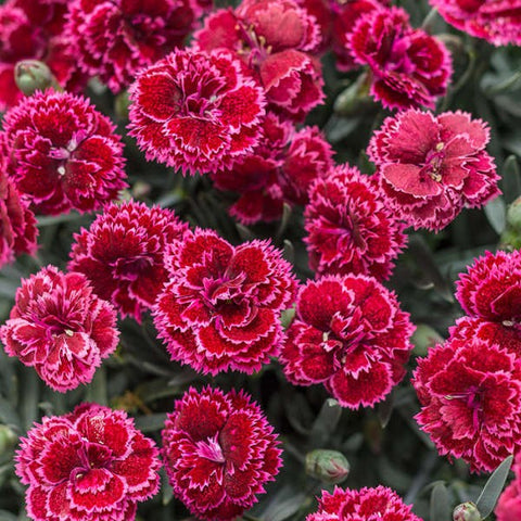 P04. Black Cherry Frost Pinks, Dianthus 'Black Cherry Frost' FRUIT PUNCH® Series