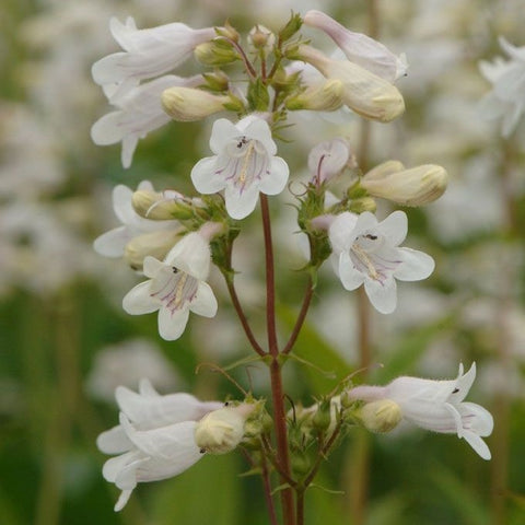P10. Foxglove Beardtongue, Penstemon digitalis