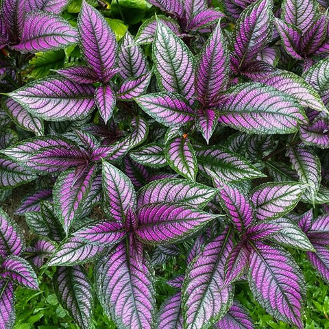 A110. Persian Shield - Strobilanthes dyerianus