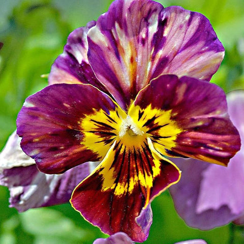 A19. Viola 'Brush Strokes'