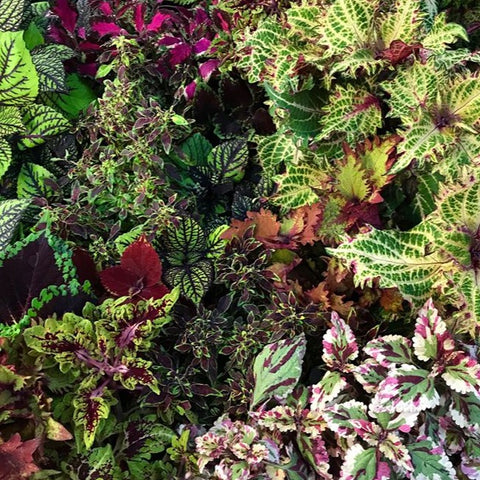 A53. Assorted Coleus