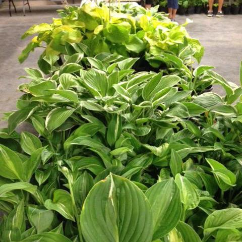 Hosta, Daylily & Iris Sale - August 24
