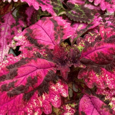 CL04. Pink and Burgundy Coleus