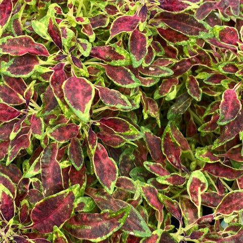 CL06. Red and Lime Coleus