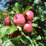 T10 and T11. Dayton Apple Tree and Dolgo Crabapple Tree, Malus x domestica 'Dayton' and Malus x domestica 'Dolgo'