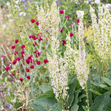 MP13. Wedding Candles Mullein, Verbascum chaixii f. album 'Wedding Candles'