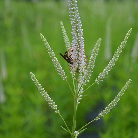 MP14. Culver's Root, Veronicastrum viginicum