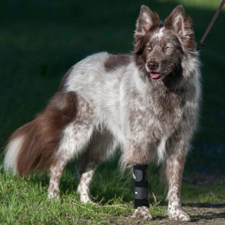 carpal support brace on border collie mix