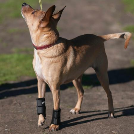 carpal support brace on Terrier Chihuahua mix
