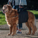 Walkabelly support sling on a golden retreiver