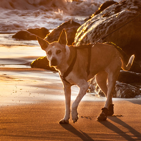 walkaboots on elderly dog at beach