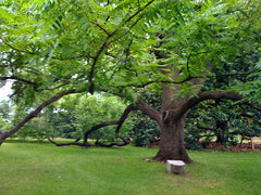 Black Walnut tree